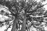 Looking Up at Two Trees- Black and White