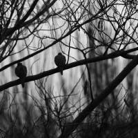 Doves (b&w) Art Prints & Posters by C. Wilhite
