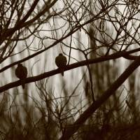 Doves (sepia) Art Prints & Posters by C. Wilhite