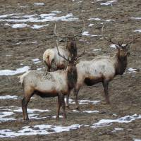 Elk Art Prints & Posters by Capturing Nature