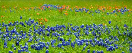 Decorative Texas Bluebonnet Meadow Photo A32517