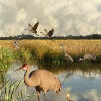 Florida Sandhill Cranes Art Prints & Posters by I.M. Spadecaller