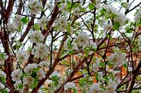 Manitou Springs Blossoms