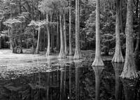 Cypresses in Tallahassee Black and White b by Carol Groenen