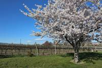 Blossoms in the Vineyard bb