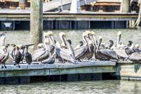 Brown Pelicans and Double-crested Cormorants