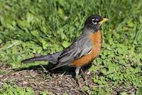 American Robin in the Grass