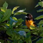 Baltimore Oriole in the Leaves