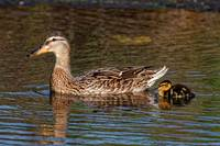 Mallard Duck and Duckling Swimming