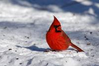 Male Northern Cardinal in the Snow