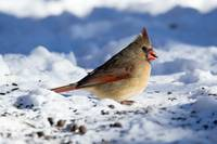Snowy Female Cardinal