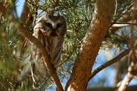 Perched Northern Saw-Whet Owl