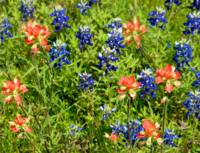 Decorative Texas Bluebonnets Meadow Digital G33117