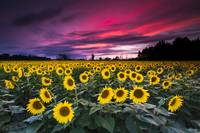 Sunflower Sunset by Cody York-2475