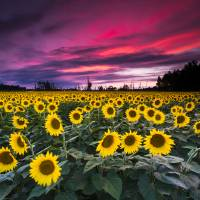 """Sunflower Sunset by Cody York-2475"" by cyorkphoto"