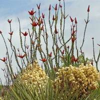 Ocotillo and Yucca Blossoms