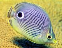 Four Eyed Butterflyfish, 'Chaetodon capistratus'