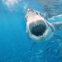 amazing_great_white_shark_wallpaper_high_resolutio Art Prints & Posters by tm mt