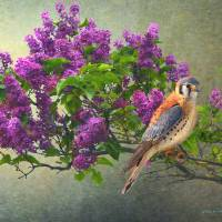 lilac branch with male kestrel by r christopher vest