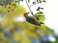 Red Bellied Woodpecker Hanging From Branch