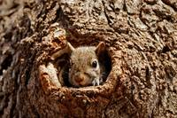 Grey Squirrel In A Hole