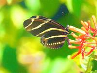 Zebra Longwing Butterfly on Firebush Plant