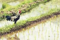 Rice Paddy Rooster