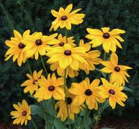 Black-Eyed Susan Spokane