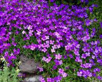Spokane Purple Wildflowers