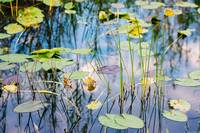 Everglades Lilly Pads