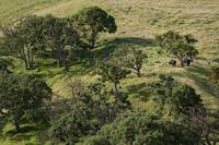 Cows under the tree - Del Valle