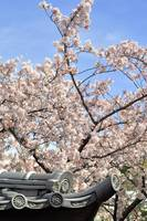 A Japanese Scene: Roof and Sakura
