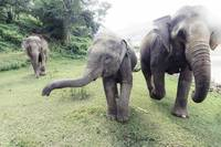 Thai Elephants