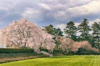 Weeping Cherry in Bloom