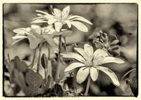 Bloodroot and Vinca Wildflowers