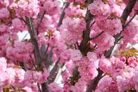 Bunches of Pink Blossoms