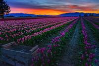 TulipsSunrise-02659-Edit1