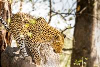 African Leopard 3