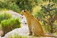 African Leopard on Watch