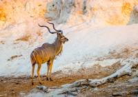 African Kudu On Chobe River # 2
