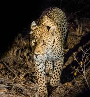 African Leopard on Prowl