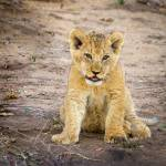 Lion Cub at Sunset