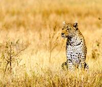 African Leopard 6