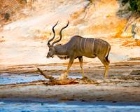 African Kudu on Chobe River