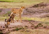 African Cheetah and Cubs