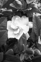White Flower - Black and White - High Res