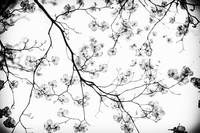 Through the Dogwood Black and White