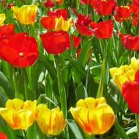 Spring Tulip Flower Art Prints & Posters by Capturing Nature