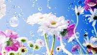 gerbera_daisies_flowers_2-wallpaper-1920x1200