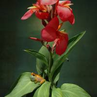 Canna Lily and Hourglass Tree Frog by I.M. Spadecaller